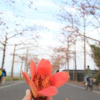 台南市休閒旅遊 景點 景點其他 將軍苓仔寮木棉花道 照片