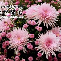 台北市休閒旅遊 景點 展覽館 2016士林官邸菊展「菊世聞名」 照片