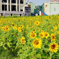 珍妮佛的花草呢喃在2016橋頭花海「花田囍事 勁樂橋頭」 pic_id=3039385