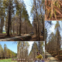 桃園市休閒旅遊 景點 森林遊樂區 落羽松森林 照片