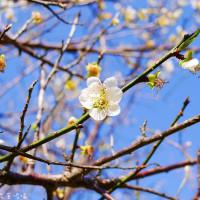 桃園市休閒旅遊 景點 公園 2017角板山梅花季 照片
