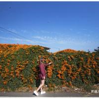 彰化縣休閒旅遊 景點 景點其他 炮仗花 照片
