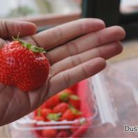 台北市休閒旅遊 景點 觀光果園 田園美色草莓園 照片