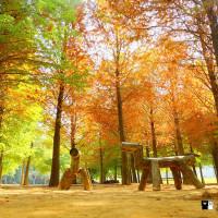 南投縣休閒旅遊 景點 景點其他 南投落羽松森林 照片