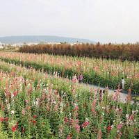 彰化縣休閒旅遊 景點 景點其他 2017田中蜀葵花海藝術節 照片