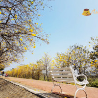 嘉義市休閒旅遊 景點 景點其他 八掌溪畔軍輝橋堤防黃風鈴花 照片