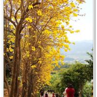 新竹縣休閒旅遊 景點 觀光花園 秘境黃花風鈴木 照片