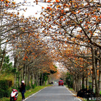 彰化縣休閒旅遊 景點 景點其他 二林木棉花道 照片