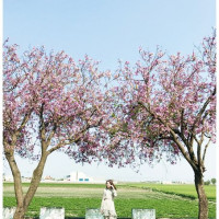 雲林縣休閒旅遊 景點 景點其他 馬光國中櫻花大道 照片