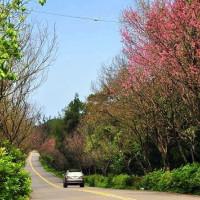 新北市休閒旅遊 景點 景點其他 三芝櫻花季 照片