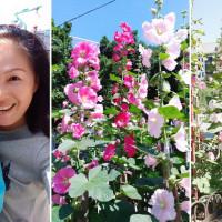 台北市休閒旅遊 景點 觀光花園 中山北路五段 蜀葵花園 照片