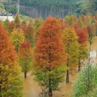 苗栗縣休閒旅遊 景點 森林遊樂區 三灣落羽松 照片