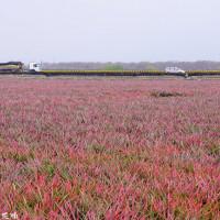【屏東-佳冬鄉】佳冬運動公園波斯菊花海