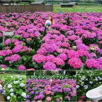 台北市休閒旅遊 景點 觀光花園 花谷海芋園 照片
