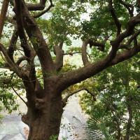 【高雄。甲仙】竹山巷彩繪社區。和安人文彩繪巷。甲仙百年茄苳樹。甲仙旅遊景點