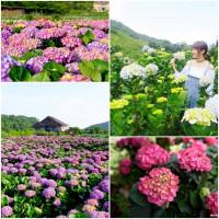 IG網美、網帥準備好了!台北必拍「繡球花」強勢登場,夏季限定必拍花海搶先公開。