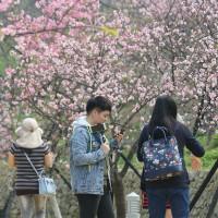 新竹人快衝,新竹公園櫻花開了!總計850棵櫻花樹絕對讓你拍好拍滿,還可以在櫻花樹下野餐喔。