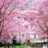 追櫻族沒做功課進不去!堪稱此生一定要朝聖「武陵農場櫻花祭」,超過2.1萬株櫻花花海讓你一路拍到2/27。