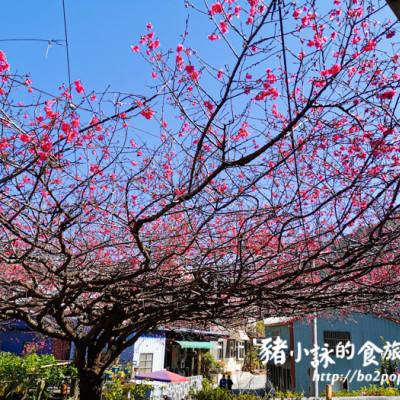 屏東。霧台》2020霧台櫻王+隨處散策(20200131花況)