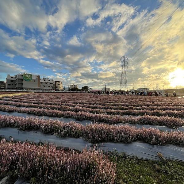 桃園市 觀光 觀光景點 2020桃園仙草花節