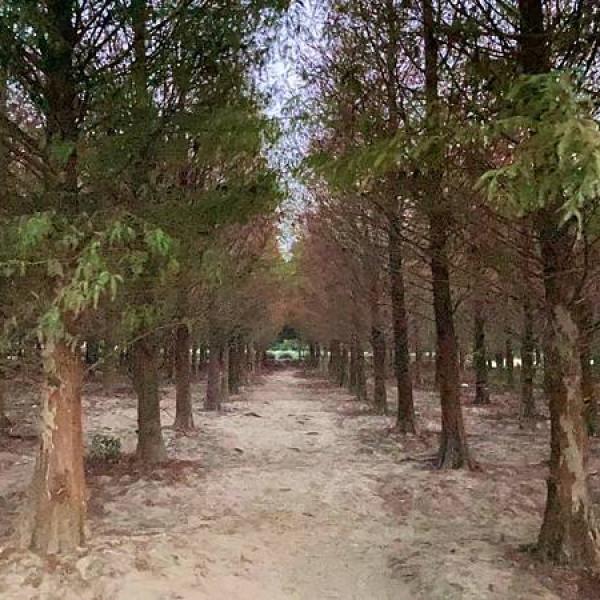 雲林縣 觀光 觀光景點 九芎落羽松