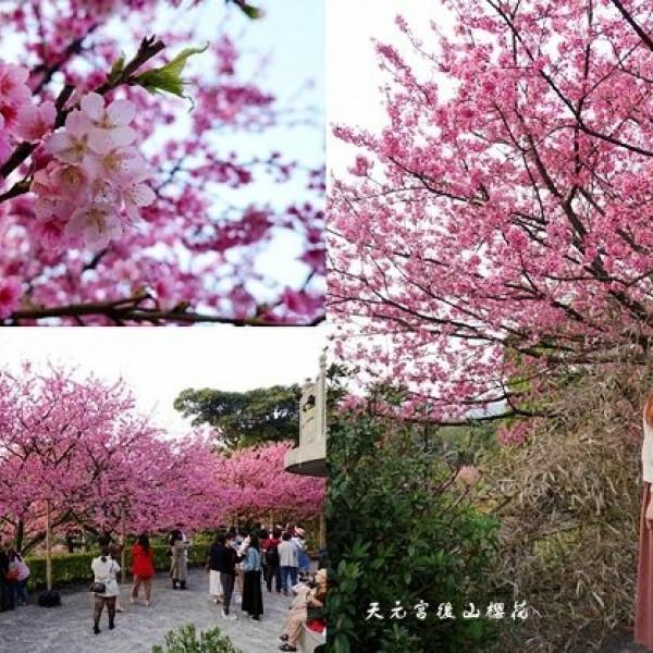 新北市 觀光 觀光景點 天元宮後山櫻花
