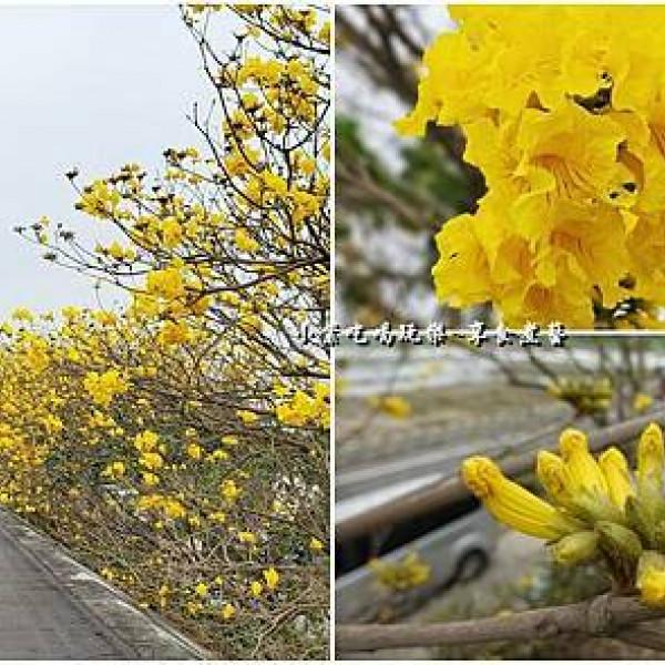 嘉義縣 觀光 觀光景點 陳井寮堤防黃花風鈴木步道