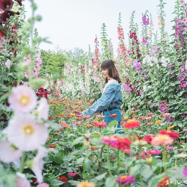 彰化縣 觀光 觀光景點 2021員林蜀葵花季