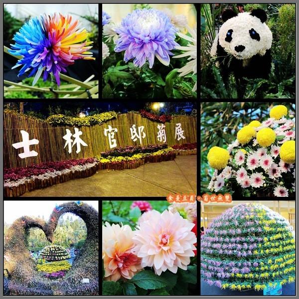 台北市 休閒旅遊 景點 公園 2013 台北士林官邸「菊世無雙」菊花特展