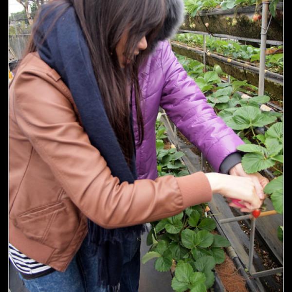 台南市 休閒旅遊 景點 觀光果園 美裕草莓園