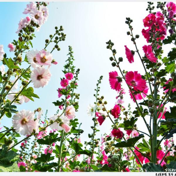 台南市 休閒旅遊 景點 觀光花園 2014年唸戀蜀葵花