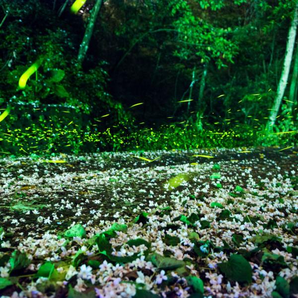 新竹縣 休閒旅遊 景點 景點其他 關西螢火蟲