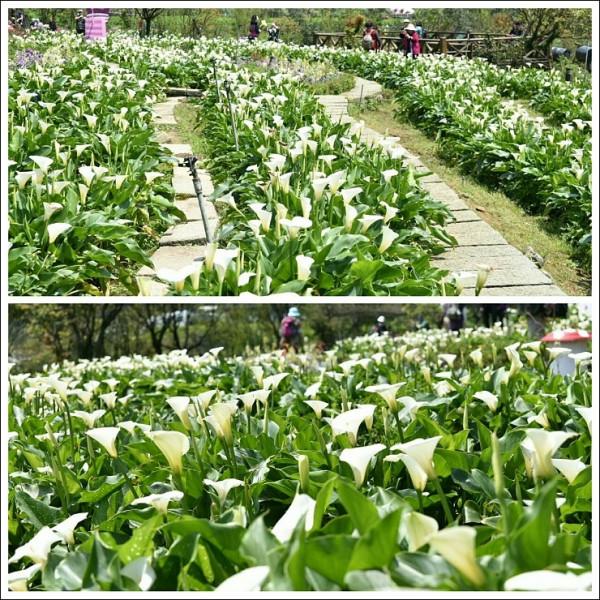 台北市 休閒旅遊 景點 觀光花園 2016竹子湖海芋季 (2016/3/18~4/17)