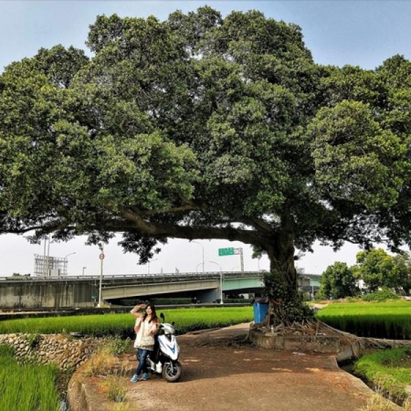 台中市 觀光 觀光景點 台中金城武樹