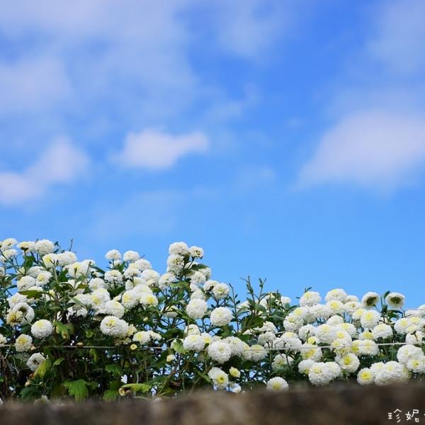 苗栗縣 觀光 觀光景點 2016銅鑼杭菊