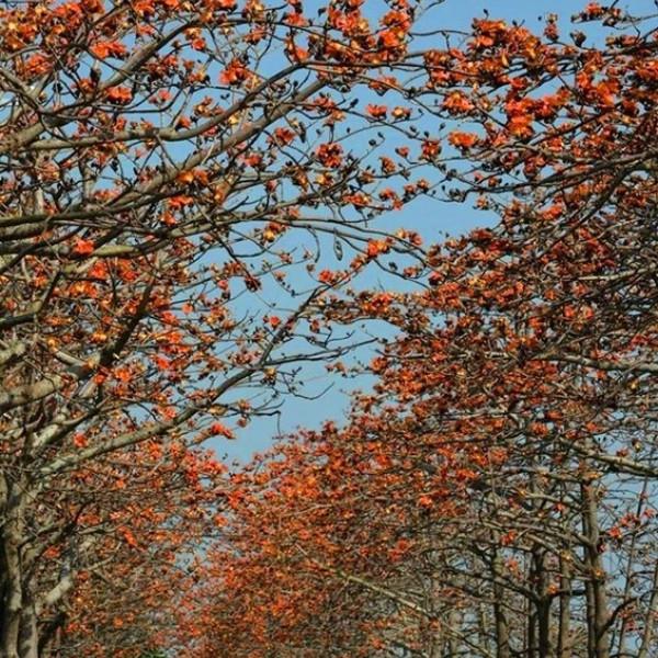 彰化縣 觀光 觀光景點 東螺溪木棉花道