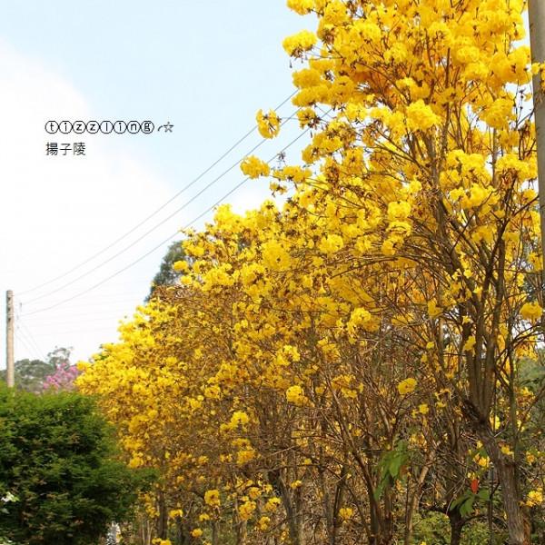 新竹縣 觀光 觀光工廠‧農牧場 秘境黃花風鈴木