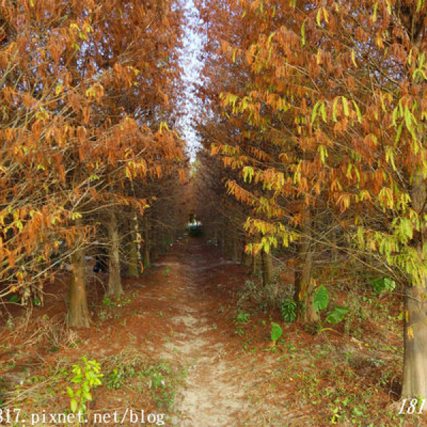 雲林縣 觀光 觀光景點 九芎村落羽松秘境