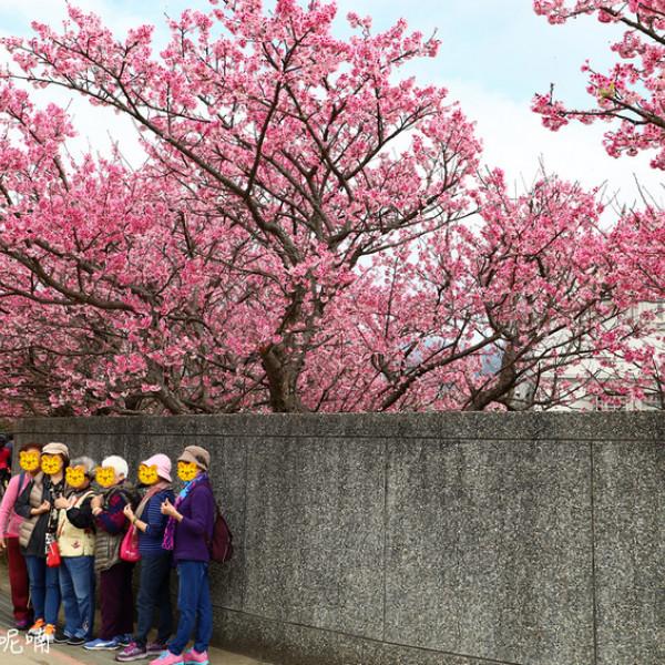 台北市 觀光 觀光景點 陽明山平菁街42巷櫻花