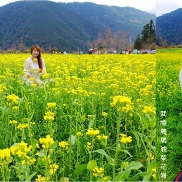 台中市 觀光 觀光景點 武陵農場露營區油菜花海