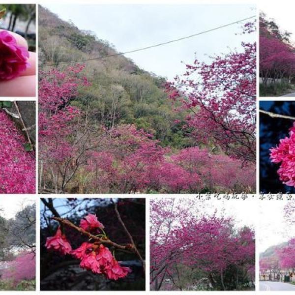 南投縣 觀光 觀光景點 春陽櫻花大道