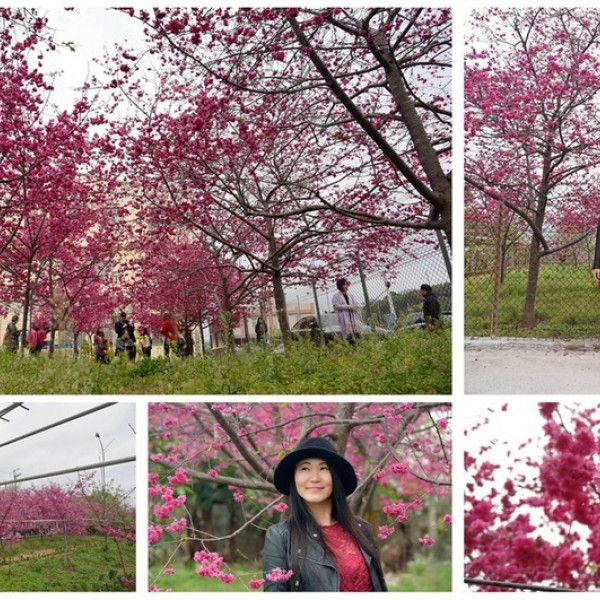 台中市 觀光 觀光景點 興社街櫻花林