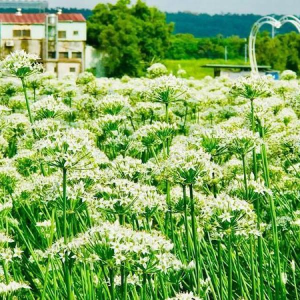 桃園市 休閒旅遊 景點 景點其他 大溪韭菜花