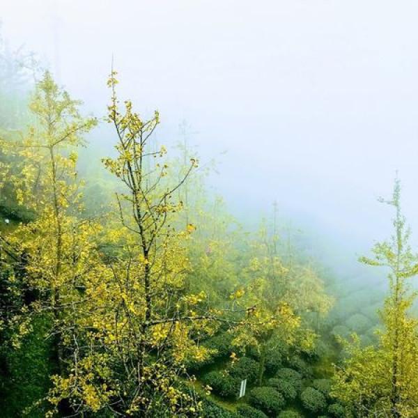 南投縣 觀光 觀光工廠‧農牧場 銀杏森林