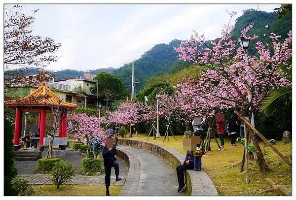 新北市烏來區 櫻花公園