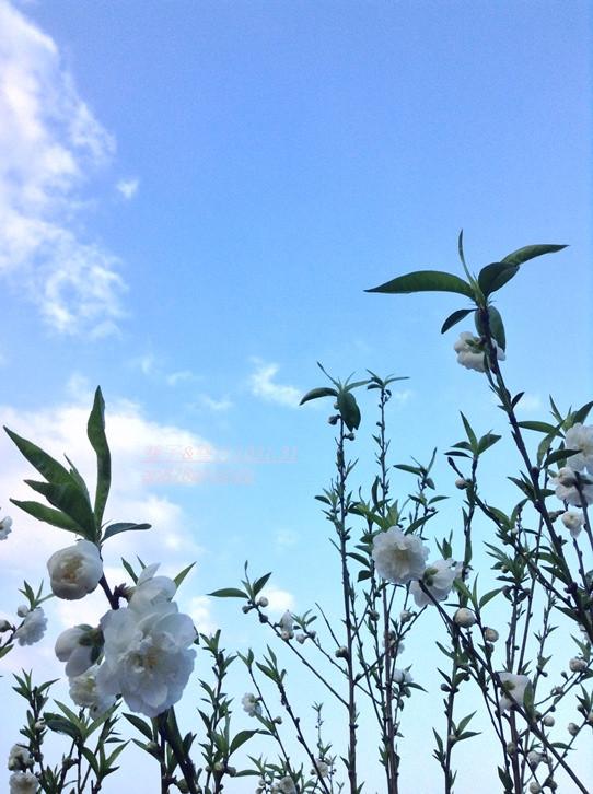 木柵老泉里杏花林盛開.望遠亭俯瞰台北市