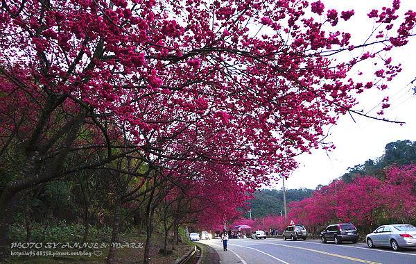 櫻花季,重瓣櫻,三星櫻花,賞花