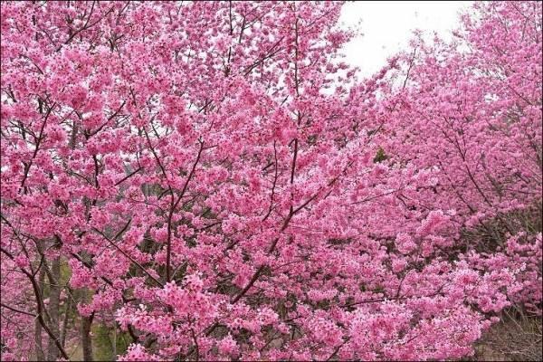 《新竹賞櫻景點》遠的要命的賞櫻秘境~新竹尖石萬里山園,被粉白櫻花大包圍的