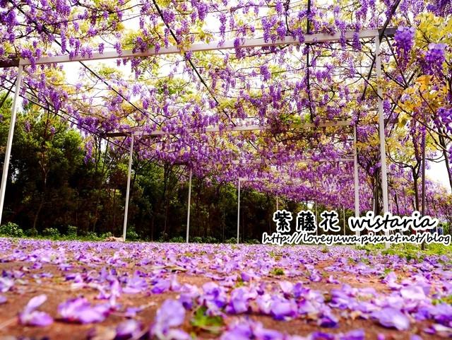 淡水新景点-300多公尺紫藤隧道,占地一万坪的秘密花园