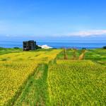 豐濱海稻田